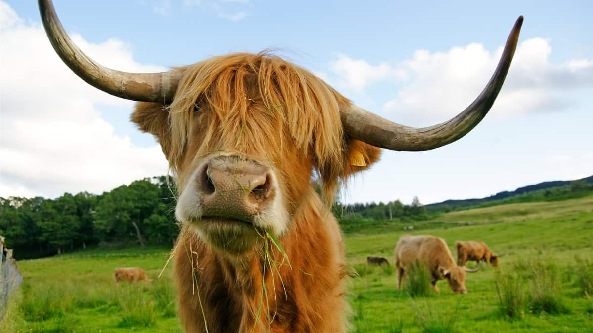 highland cow md